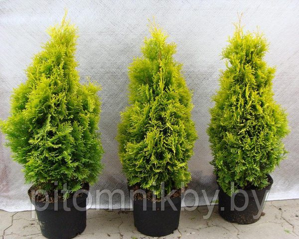 50206505_w640_h2048_thuja_occident__n_smaragd5